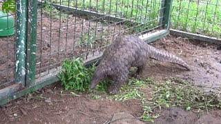 A rescued Pangolin takes it time to enjoy Human companions before its release thumbnail
