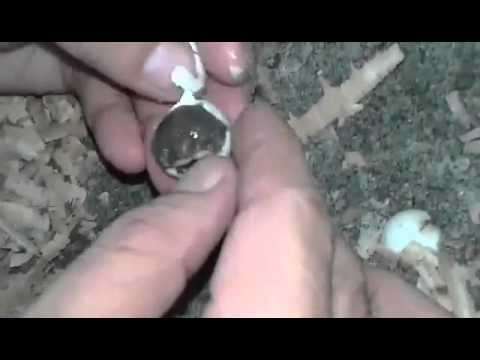 Softshell Turtle Hatchling