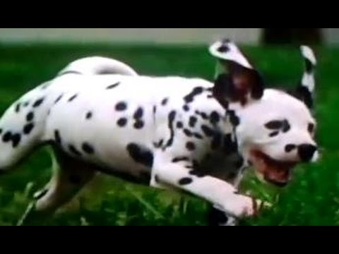 Dalmatian Puppies Playing - Cachorros Dalmata jugando Super Tiernos! Travel Video