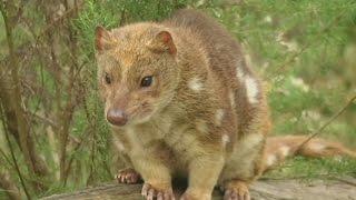 Редких сумчатых куниц защищают от вымирания (новости)