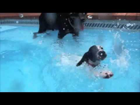 Sookie & Thor – Funny English Pointer and Rottweiler