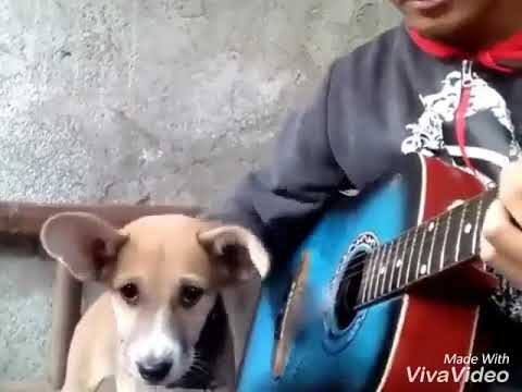 DOG SINGING SONG WITH GUITAR FUNNY SONG CUTE DOG PUPPY PUPPIES WHATSAPP STATUS