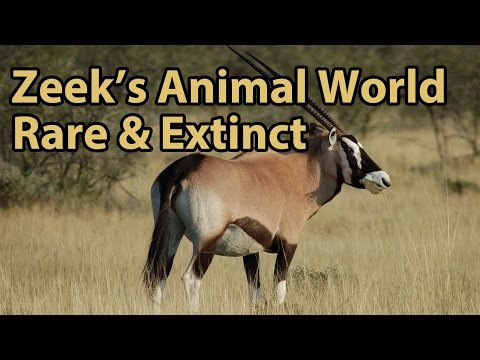 Rare & Extinct: Tapirs, Bison, Oryx and More! - Zeek's Animal World