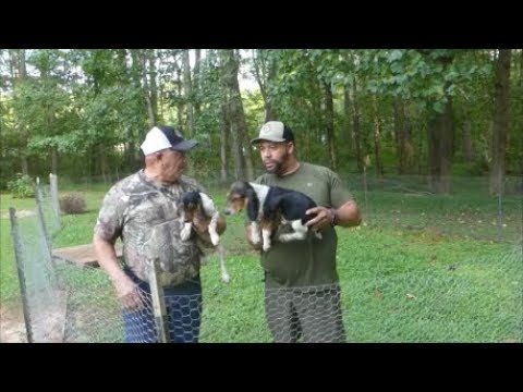 Training Beagles On Swamp Rabbits , Selling Pups , Shot Placement