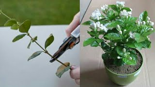 How to grow jasmine plant from cuttings thumbnail