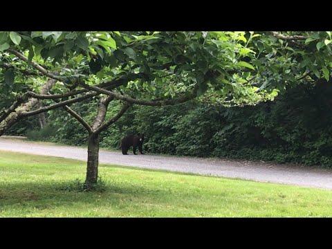 Black bear spotted near Bellingham