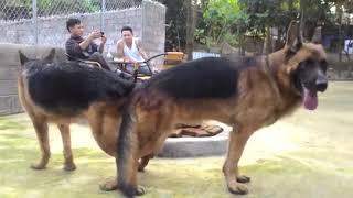 Собака Спаривание ★ Поддержка спаривания собак ★ Разведение собак