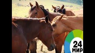 Лошади Кыргызстана - МИР 24