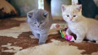 Британские котята в возрасте 6 недель (Litter-I2)