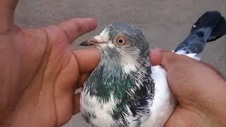 Jonsirey kabootar with red eyes - Jonsirey Pigeons the best high flying pigeons