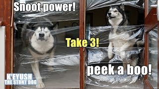 He Went SNOOT First EYES Close! Husky VS Invisible Wall LEVEL 3! Covered The WHOLE Doorway!