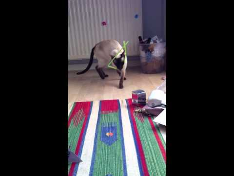 Funny video of rolo the siamese cat playing fetch