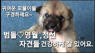 영월 국견 토종진돗개 흑황구 범돌♡영월,정선 자견 강아…