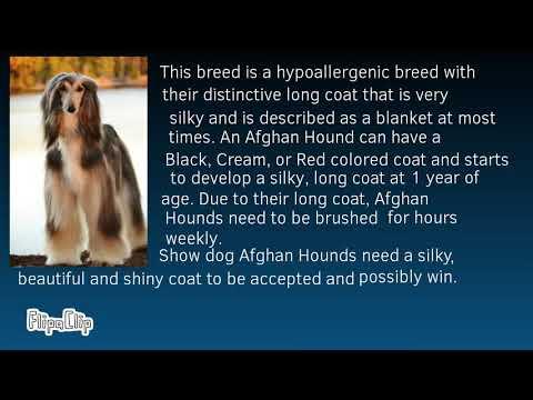 Dog Breeds 101 - Afghan Hound