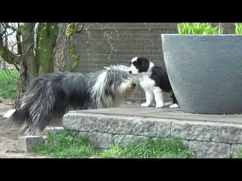 Bearded Collie puppies - 12 April 2019