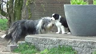 Bearded Collie puppies  12 April 2019