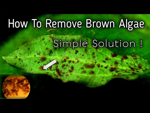 How To Remove Brown Algae In Aquarium Simple Solution || What Causes Brown Algae