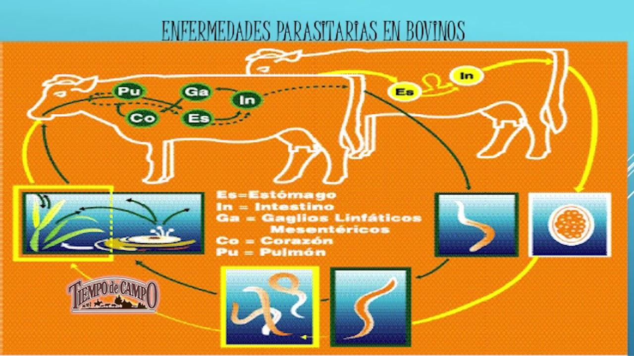 parasitos internos de bovinos