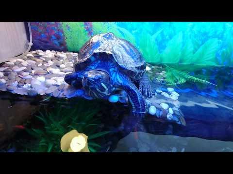 Красноухая черепаха с рыбками в аквариуме 300 литров! Барбус, тернеция, анциструс, неон..
