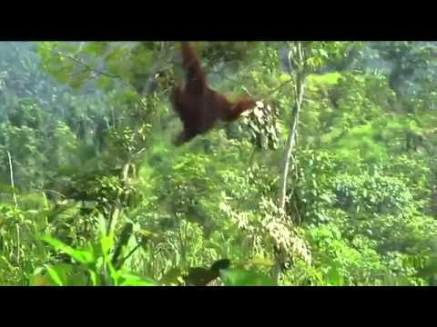 Footage of a wild male orangutan being relocated into the Gunung Leuser National Park.