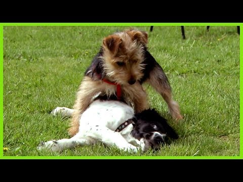 Cesar Millan Controls a Small Dog with Big Attitude