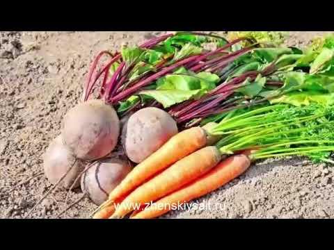 Вопрос: Какой будет урожай моркови в Подмосковье в 2020 г. Какие есть приметы?