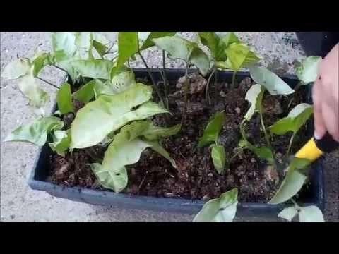 Syngonium Podophyllum Propagation and Care from Cuttings