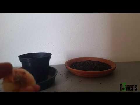 Piantare aglio e cipolla bianca e seminare spinacio doovi for Piantare aglio
