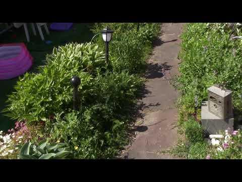 Мирикария лисохвостная-нежный кустарник в вашем саду.