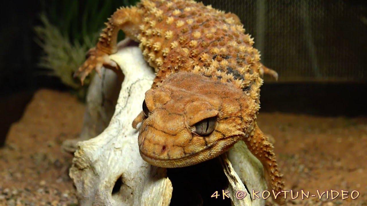 169 4k Шишкохвостый геккон Nephrurus Amyae The Rough