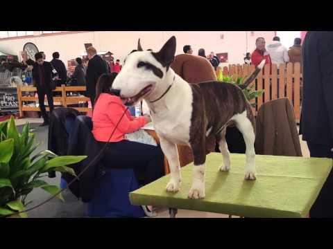 Mini Bull Terrier Expo ~ Granada 2016 ~ Dog Show ~