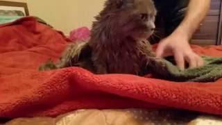 как покупать кота|кот купается|если кот боится воды|кот в воде|кот британец|2016|(Этот ролик обработан в Видеоредакторе YouTube (http://www.youtube.com/editor), 2016-07-24T21:47:38.000Z)