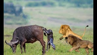 Wild Animals Fights  Male Lion vs Buffalo, Video African Animals
