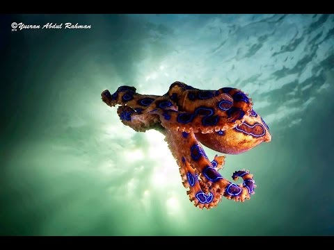 Diving in Lembeh Strait, Indonesia. Best muck diving with octopus, rhinopias, frogfish, seahorses