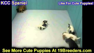 Cavalier King Charles Spaniel, Puppies, For, Sale In Toronto, Canada, Cities, Montreal, Vancouver, C