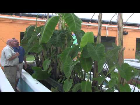 Taro in Aquaponics, which one is the right one to grow?