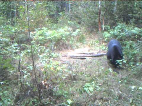 Black Bear Kill With .270