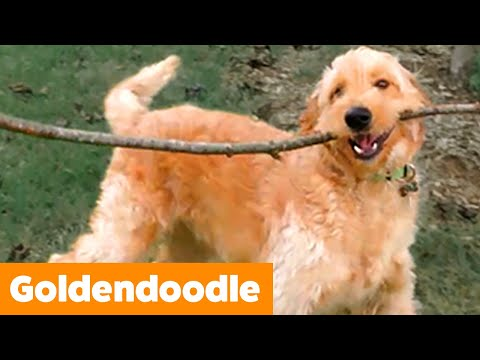 Goldendoodle Reaction & Bloopers | Funny Pet Videos