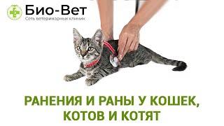 Ранения и раны у кошек, котов и котят: виды, симптомы и первая помощь. Ветеринарная клиника Био-Вет.