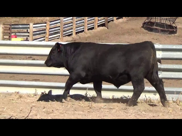 Connealy Angus Lot 50