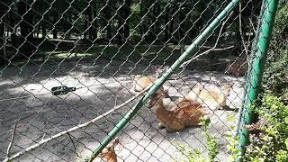 Zwierzęta podobne do sarny z o.o. część 14