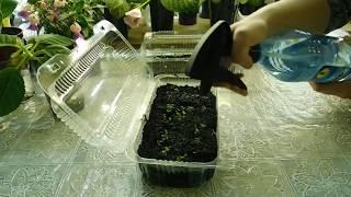 Посев Гвоздики с кипятком и результат .