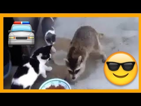 😎 Real Gangster Raccoon steals cat food 😂🐼 - Funny Vine Video