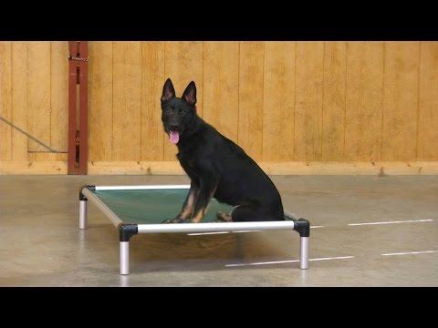 "Beautiful German Shepherd ""Zebulon"" Amazing Obedience 6 Mo. Dog For Sale"