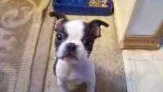 Mini Boxer/ Boston Terrier