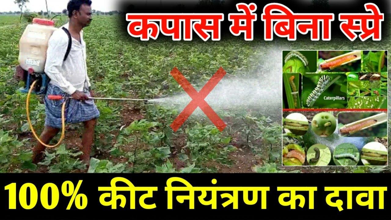 नरमा, कपास में कीटनाशक की स्प्रे किए बिना ही 100% कीट नियंत्रण का दावा kapas ki kheti | insecticide