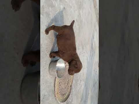 8650006680 Chocholate Labrador puppy for sale Dehradun Lucknow Patna Delhi Mumbai Ranchi Chandigarh