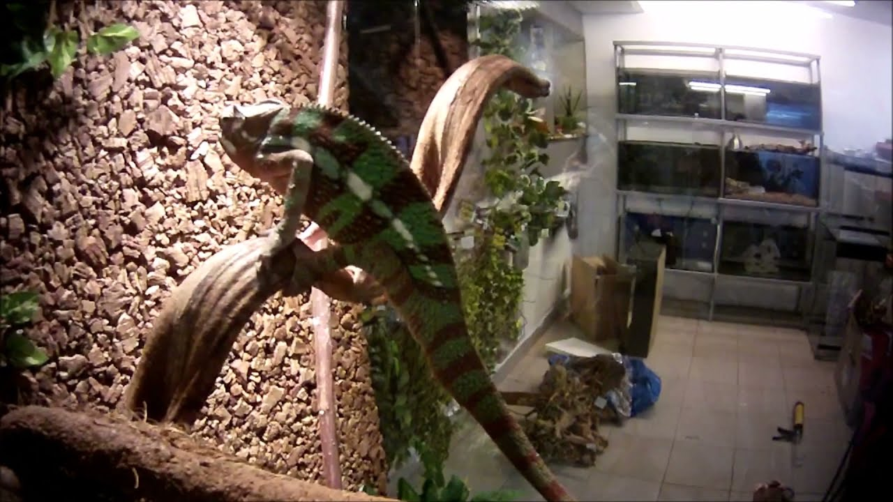 Building A Terrarium For Panther Chameleon Furcifer Pardalis