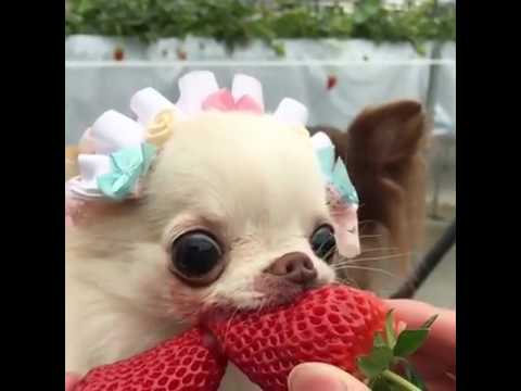 strawberry chihuahua kafası kadar 231 ileği hunharca yiyor yahu youtube 7612