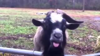 Śmieszna koza